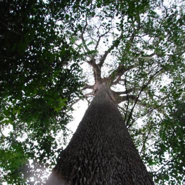 🇨🇲 Cameroun – Projet d'agroforesterie et de préservation du Moabi