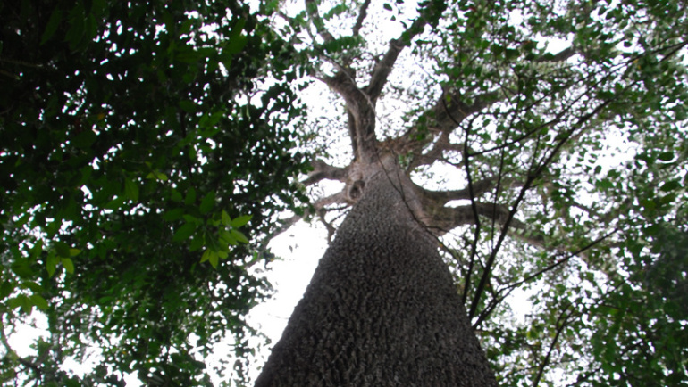 Protéger le Moabi au Cameroun