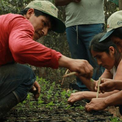 Agroforesterie et café au Pérou