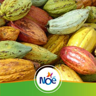 🇬🇦 Gabon – Projet d'agroforesterie pour structurer une filière durable de cacao sous ombrage