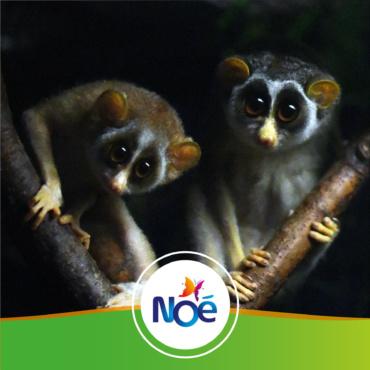 🇮🇳 Inde – Projet de préservation et de restauration de la forêt de l'Ayyalur, habitat naturel du Loris