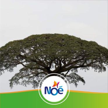 🇨🇲 Cameroun / 🇬🇦 Gabon – Projet de préservation des espèces menacées d'arbres de Moabi et de Kevasingo