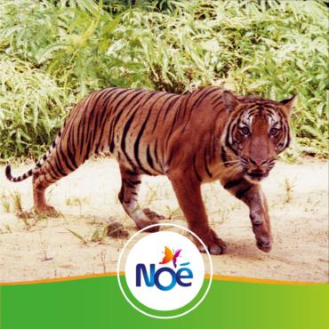 🇲🇾 Malaisie – Projet de reforestation pour restaurer un corridor biologique afin de protéger le tigre de Malaisie